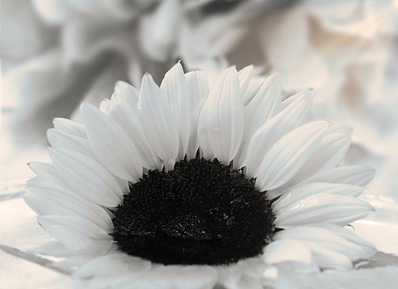 Een witte zonnebloem van Wendy Tellier - Vastenhouw
