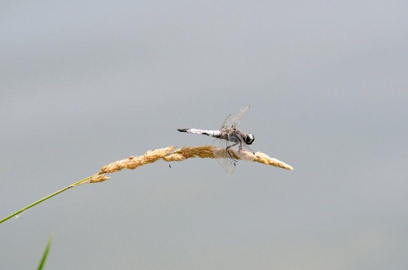 Libelle op graanhalm van Bram de Muijnck