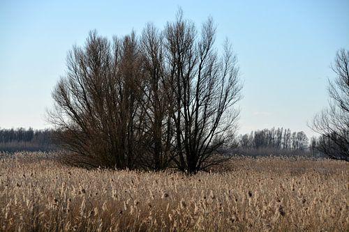 Boom tussen de rietpluimen in de Biesbosch