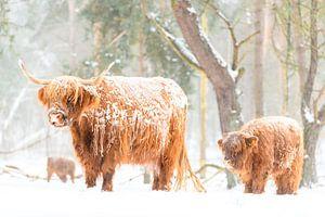 Portrait d'une vache et d'un veau des Highlands écossais dans la neige
