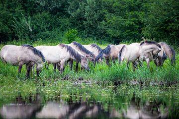 Herde von Konik-Pferden von Inge Wiedijk