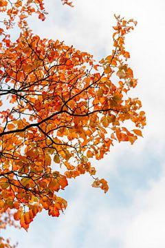 Orangefarbenes Herbstlaub gegen blaue Wolken von Laura-anne Grimbergen