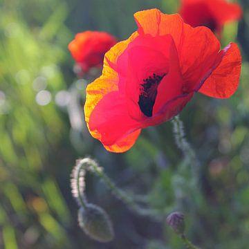Rode Klaproos / papaver van geen poeha