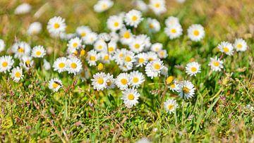 Gänseblümchen von Kirsten Warner