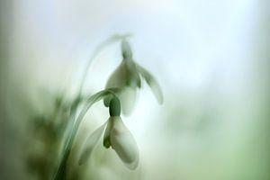 Sneeuwklokjes voorbodes van de lente