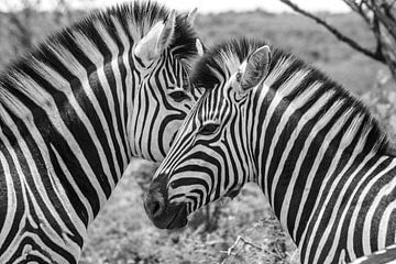 Zebra van Melanie Bruin