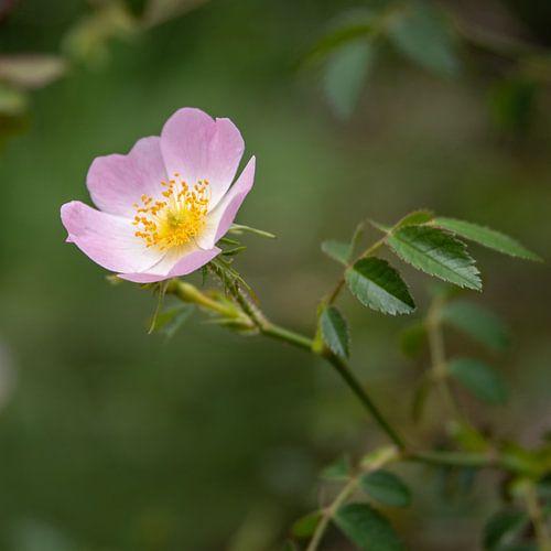 Blüte der Wilden Heckenrose