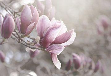 Pale Pink Magnolias sur Marina de Wit
