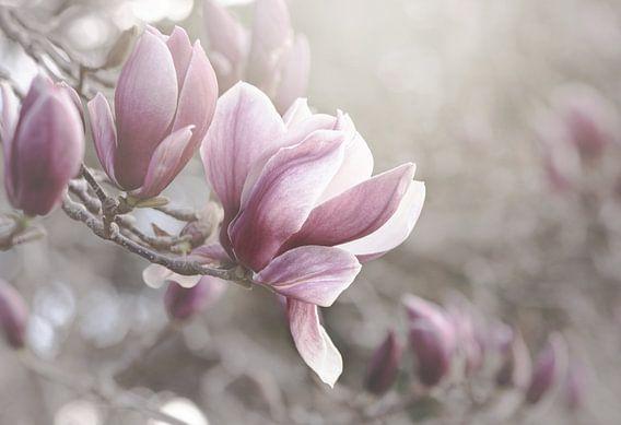 Pale Pink Magnolias van Marina de Wit