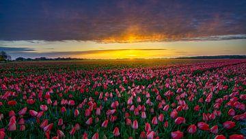 Tulpen zover het oog reikt