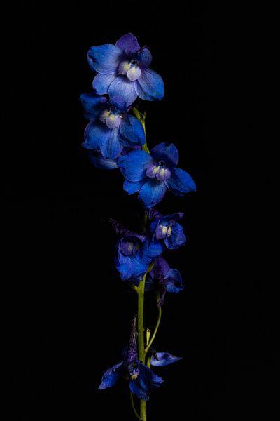 Ridderspoor bloemen van Tim Abeln
