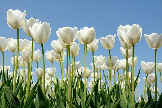 Witte tulpen van Jeannette Penris