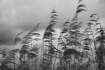Schilf im Winterwind von Ruud Wijnands