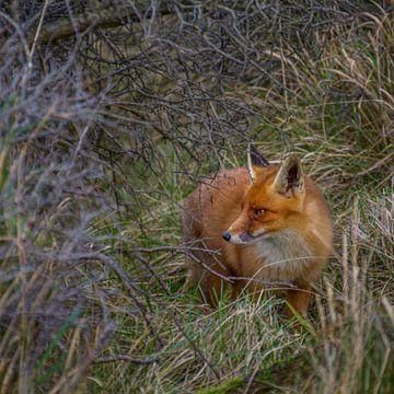 Een vos tussen de struiken van Patrick Herzberg