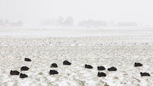 Meerkoeten in sneeuwstorm