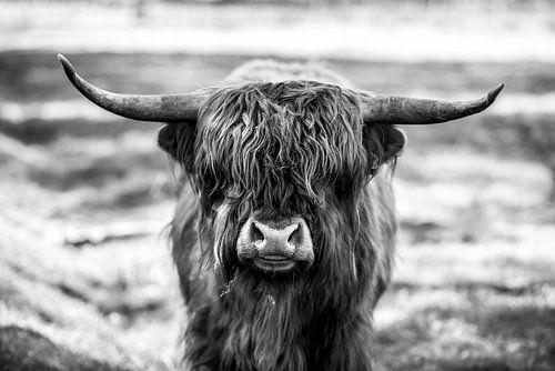 Schotse Hooglander, Scottish Highlander van Nathalie Bauland