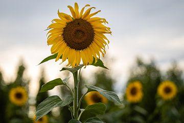 Sonnenblumen auf dem Feld von Paul Lagendijk