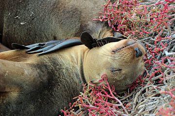 Seelöwe Galapagos von Marieke Funke