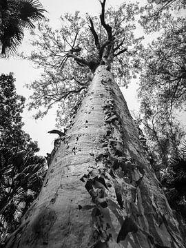 Eeuwenoude boom in Carnarvon National Park, Australie van Rietje Bulthuis
