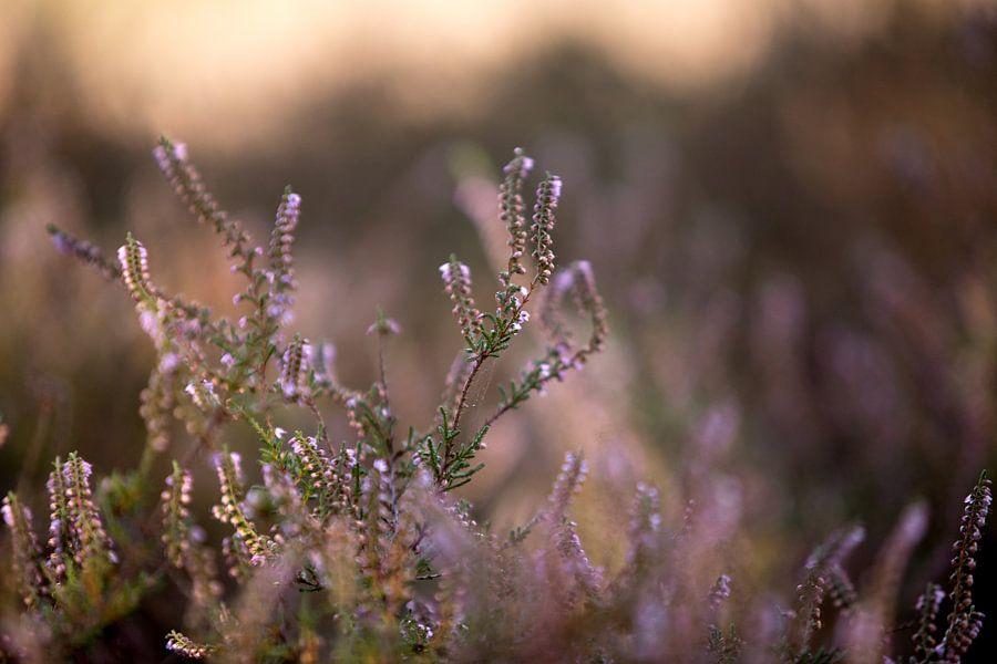 Bloeiende paarse heide bloemen op de veluwe