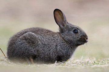 Kaninchen / Wildkaninchen ( Oryctolagus cuniculus ), schwarzes Wildkaninchen, fotografiert auf Augen von wunderbare Erde