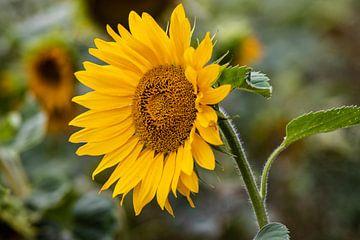 Zonnebloemen in de nazomer von henry hummel