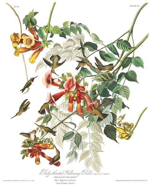 Robijnkeelkolibrie van Birds of America