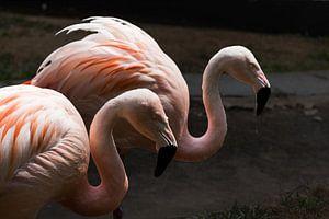 een koppel flamingo's