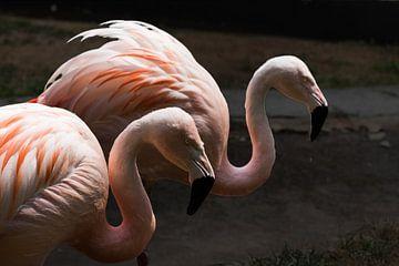 een koppel flamingo's van Peter van der Wal