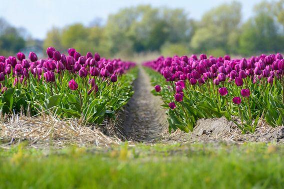 Paarse Tulpen van Martijn van der Nat