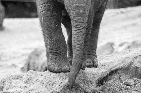 Jonge Aziatische olifant  van Kaj Hendriks