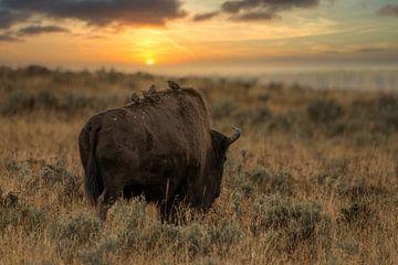 Amerikaanse bizon in Nationaalpark Yellowstone Amerika in avondlicht van Christien Brandwijk