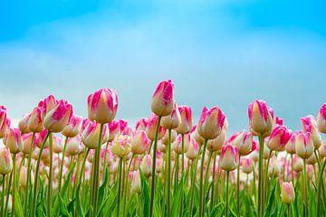 Fleurig tulpenveld na een regenbui. van Ron van der Stappen