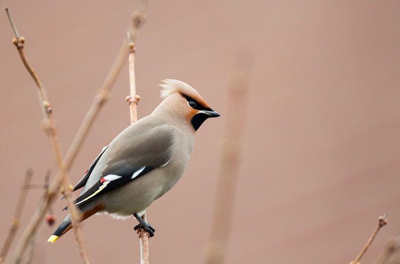 Pestvogel van Rando Kromkamp
