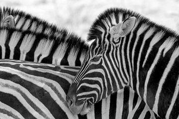 zebras von Ger van Beek