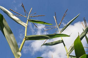 Mais tegen blauwe lucht van Ingrid Bargeman