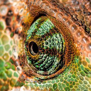 Chameleon oog. van