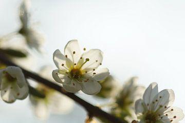 Lente bloesem sur Carla Mesken-Dijkhoff