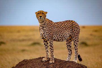 Cheetah op termietenheuvel van Peter Michel