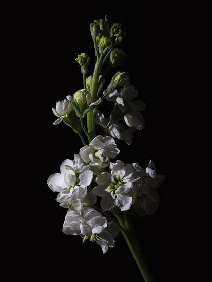 Low key bloem - Violier van Tim Abeln