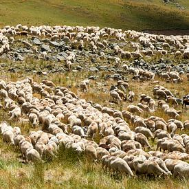 schaapskudde in de Haute-Alpes van Hanneke Luit