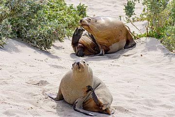 2 Seelöwen von Jeroen de Weerd