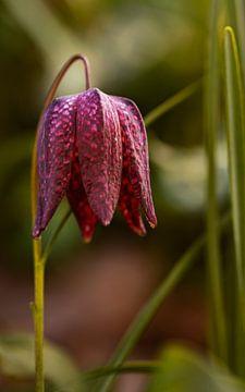 Kievitsbloem, Fritillaria meleagris van Adelheid Smitt