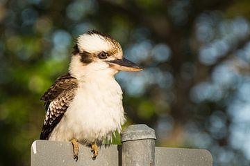 Kookaburra van Jouke Wijnstra Fotografie