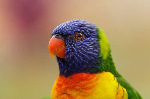 Portret van een Regenboog Lori van