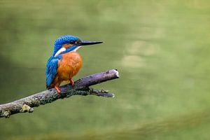 IJsvogel in de lente