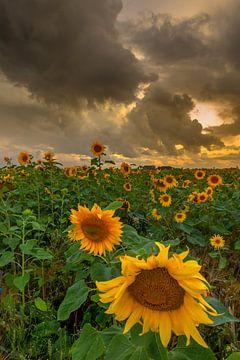 Sonnenblumen von Andy Luberti