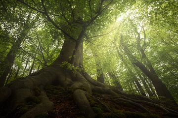 Wonderboom in lente bos