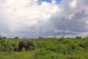 Olifant in het Udawalawe N.P. in Sri Lanka