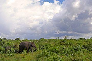 Olifant in het Udawalawe N.P. in Sri Lanka van
